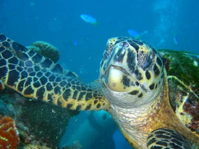 A close-up, straight-on shot of a turtle feeding on the                coral