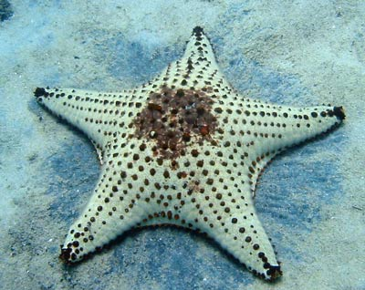 Black and white patterned starfish